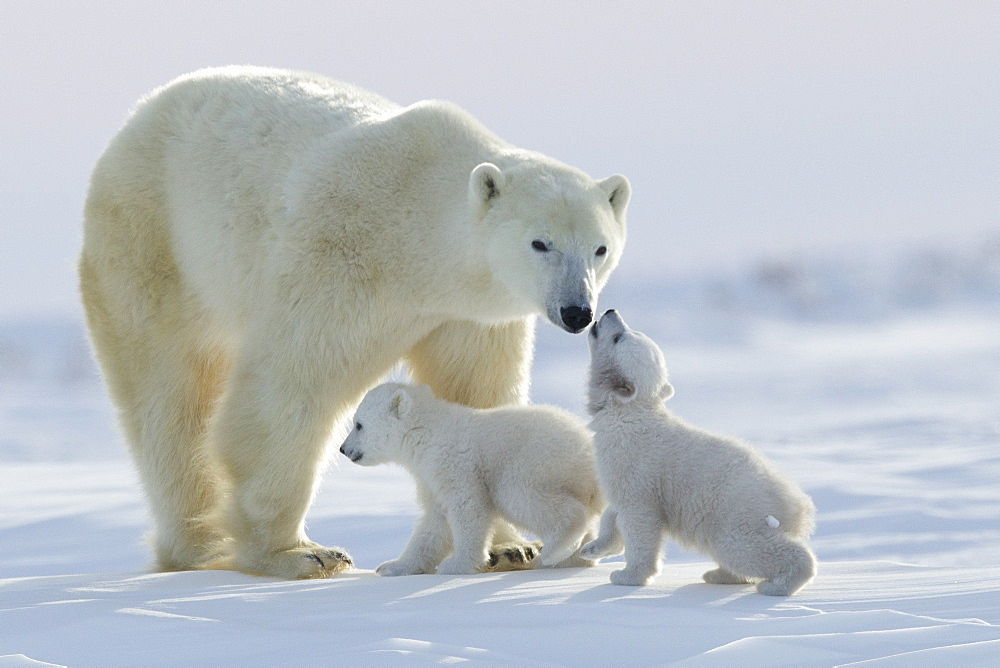 Polar bear (Ursus maritimus) and cubs, Wapusk National Park, Churchill, Hudson Bay, Manitoba, Canada, North America - 938-57