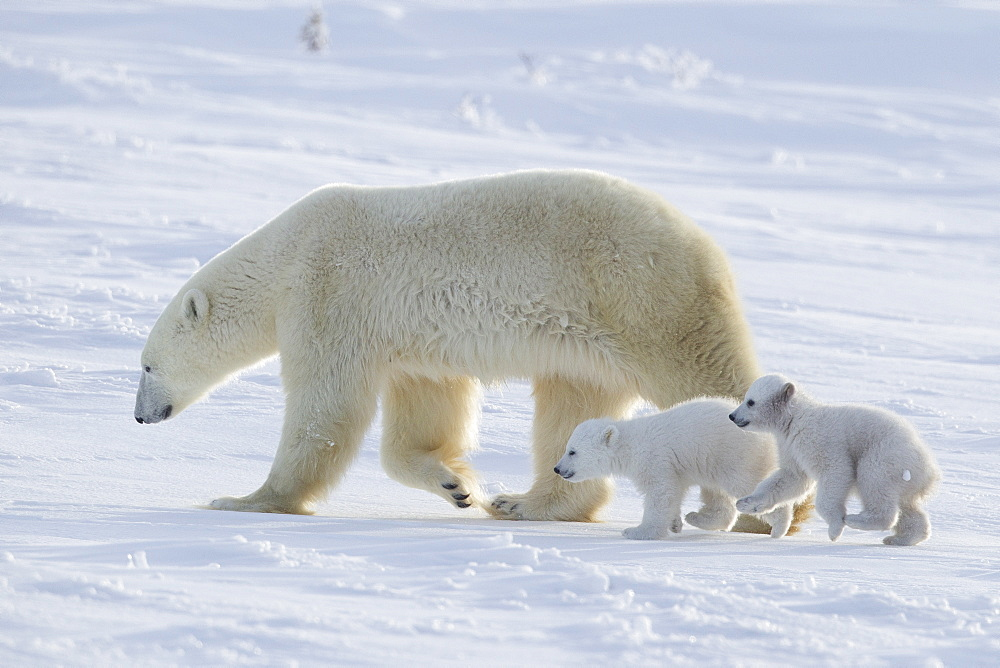 Polar bear (Ursus maritimus) and cubs, Wapusk National Park, Churchill, Hudson Bay, Manitoba, Canada, North America - 938-59