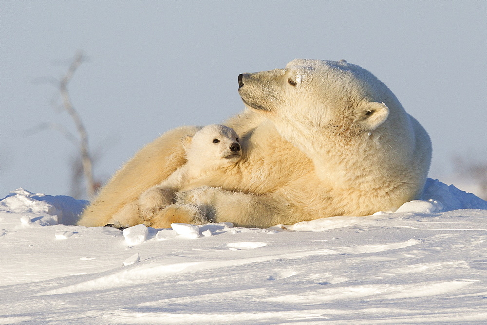 Polar bear (Ursus maritimus) and cub, Wapusk National Park, Churchill, Hudson Bay, Manitoba, Canada, North America  - 938-6
