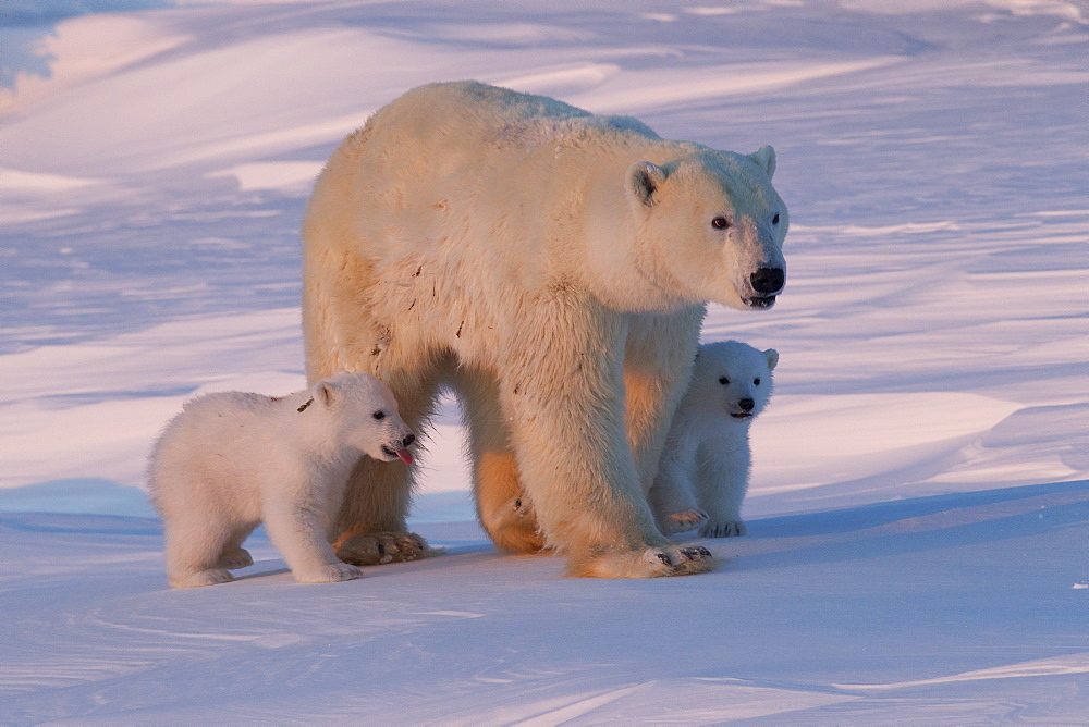 Polar bear (Ursus maritimus) and cubs, Wapusk National Park, Churchill, Hudson Bay, Manitoba, Canada, North America - 938-60