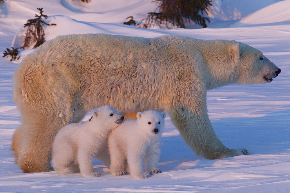 Polar bear (Ursus maritimus) and cubs, Wapusk National Park, Churchill, Hudson Bay, Manitoba, Canada, North America - 938-62