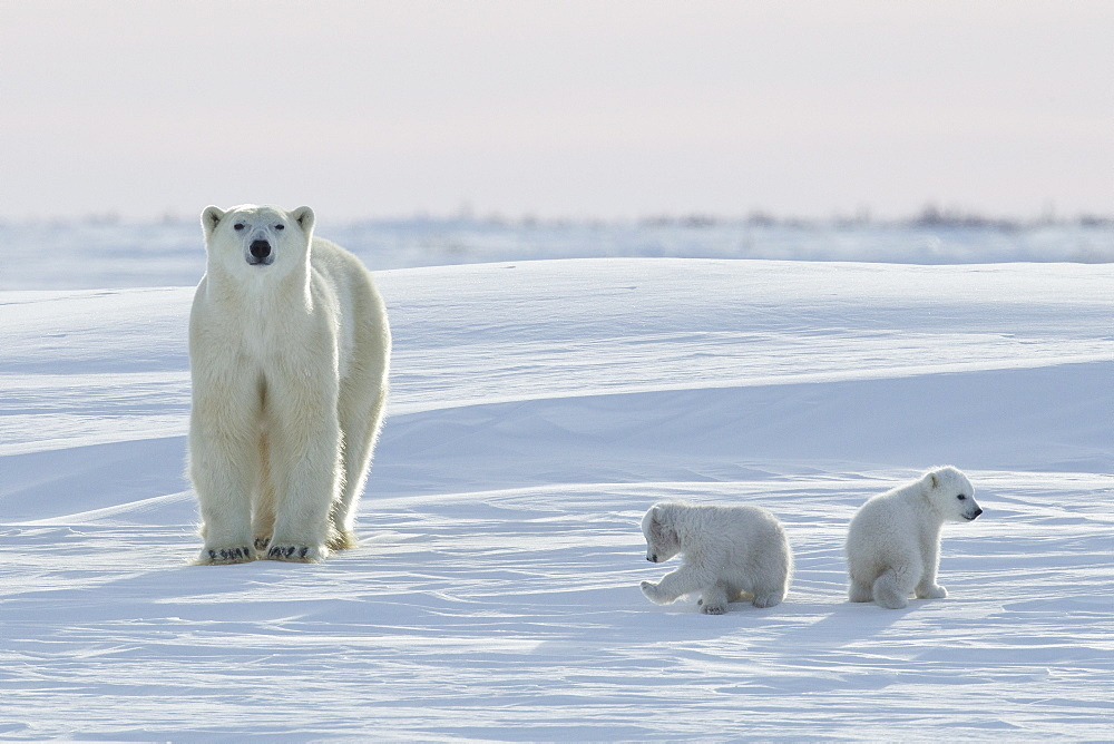 Polar bear (Ursus maritimus) and cubs, Wapusk National Park, Churchill, Hudson Bay, Manitoba, Canada, North America - 938-63