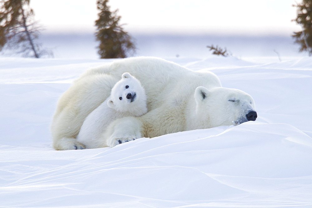Polar bear (Ursus maritimus) and cubs, Wapusk National Park, Churchill, Hudson Bay, Manitoba, Canada, North America - 938-65