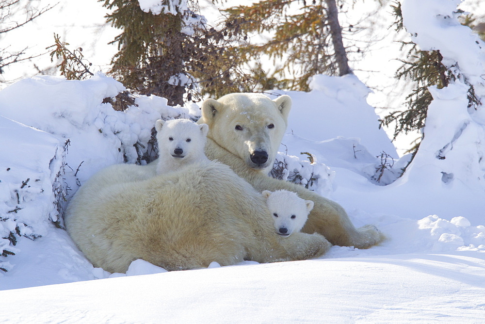 Polar bear (Ursus maritimus) and cubs, Wapusk National Park, Churchill, Hudson Bay, Manitoba, Canada, North America - 938-66