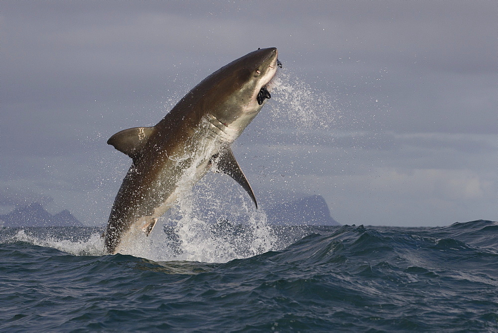 Great white shark (Carcharodon carcharias), Seal Island, False Bay, Simonstown, Western Cape, South Africa, Africa - 938-67