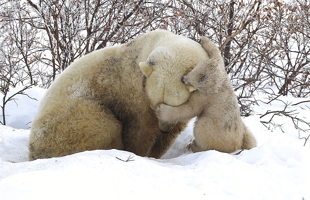 Polar bear (Ursus maritimus) and cub, Wapusk National Park, Churchill, Hudson Bay, Manitoba, Canada, North America  - 938-7