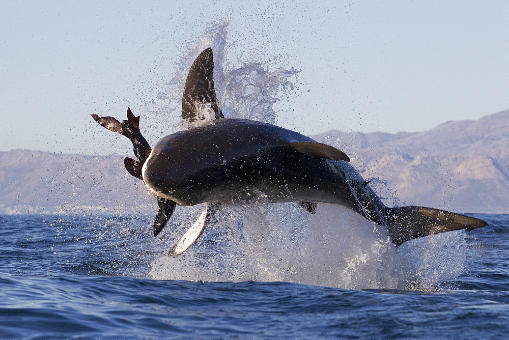 Great white shark (Carcharodon carcharias), Seal Island, False Bay, Simonstown, Western Cape, South Africa, Africa - 938-71