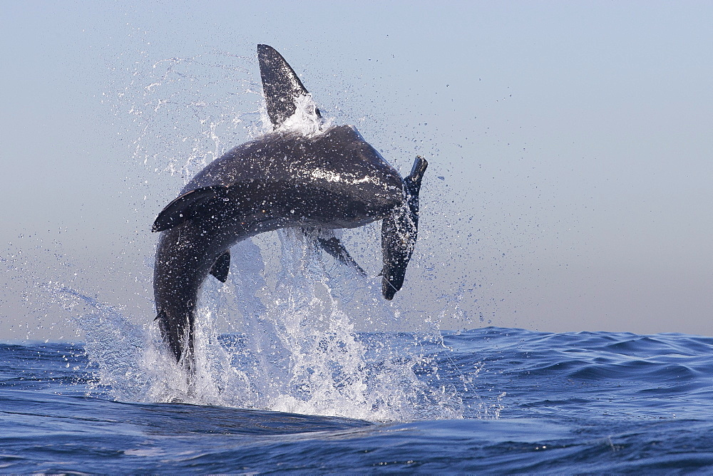 Great white shark (Carcharodon carcharias), Seal Island, False Bay, Simonstown, Western Cape, South Africa, Africa - 938-75