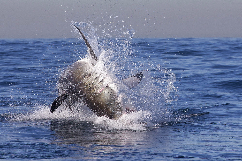 Great white shark (Carcharodon carcharias), Seal Island, False Bay, Simonstown, Western Cape, South Africa, Africa - 938-77