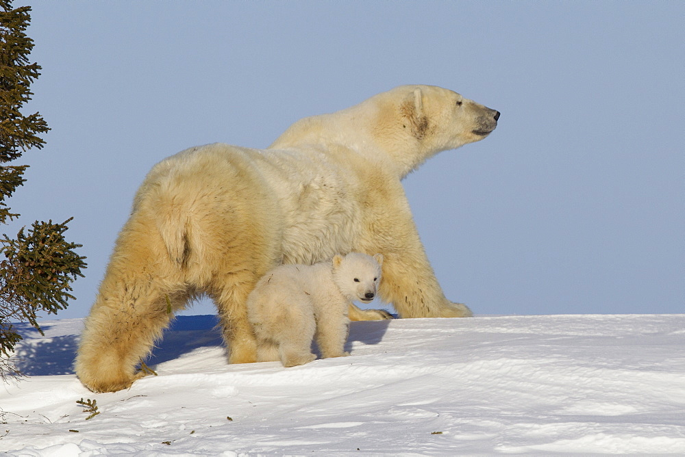 Polar bear (Ursus maritimus) and cub, Wapusk National Park, Churchill, Hudson Bay, Manitoba, Canada, North America  - 938-8