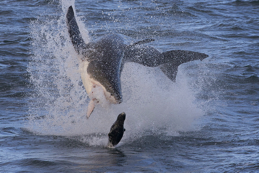 Great white shark (Carcharodon carcharias), Seal Island, False Bay, Simonstown, Western Cape, South Africa, Africa - 938-80