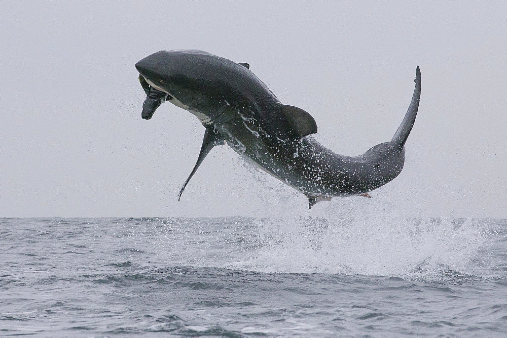 Great white shark (Carcharodon carcharias), Seal Island, False Bay, Simonstown, Western Cape, South Africa, Africa - 938-83
