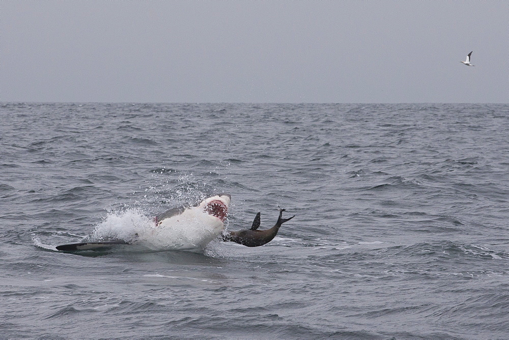 Great white shark (Carcharodon carcharias), Seal Island, False Bay, Simonstown, Western Cape, South Africa, Africa - 938-84