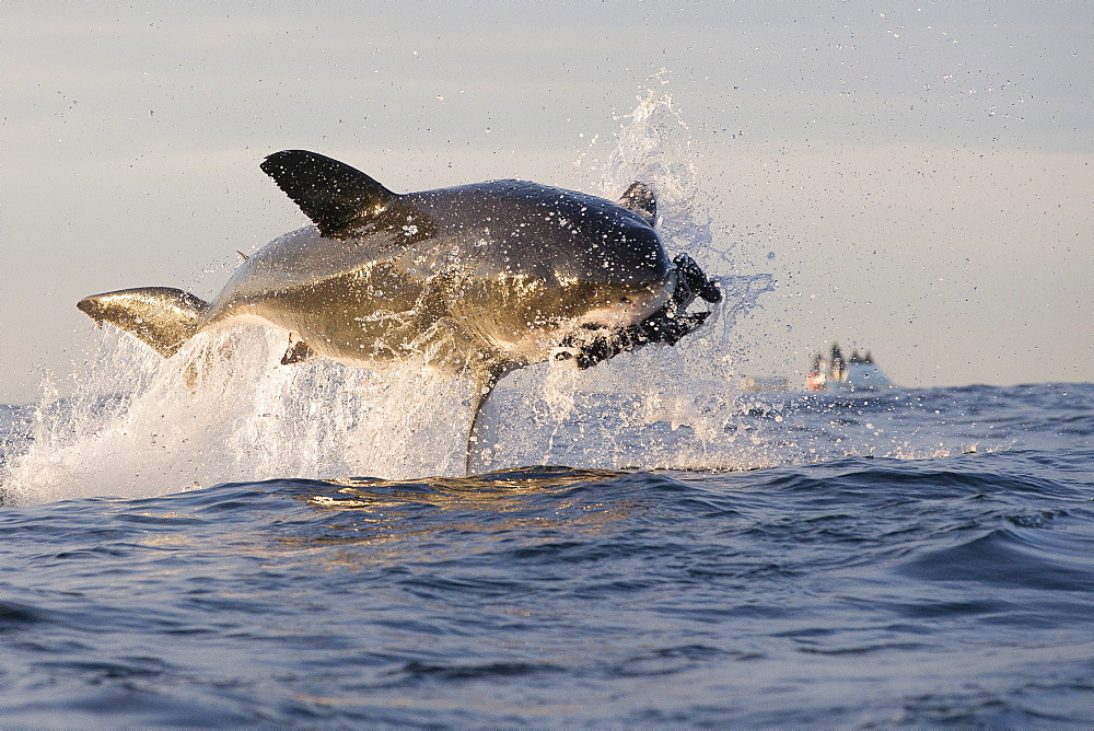 Great white shark (Carcharodon carcharias), Seal Island, False Bay, Simonstown, Western Cape, South Africa, Africa - 938-91