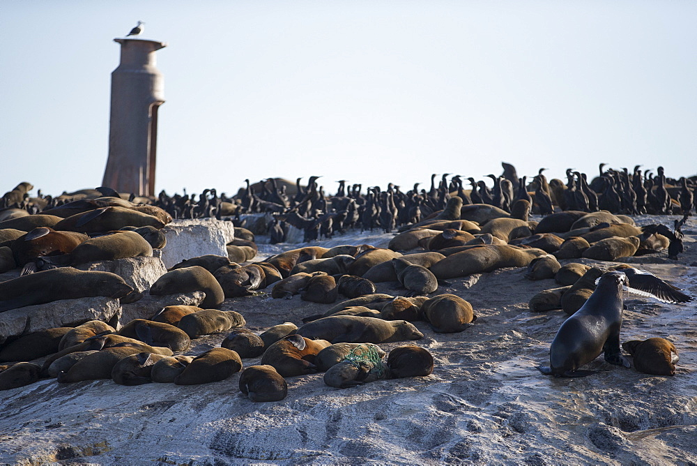Cape fur seals (Arctocephalus pusillus pusillus), Seal Island, False Bay, Simonstown, Western Cape, South Africa, Africa