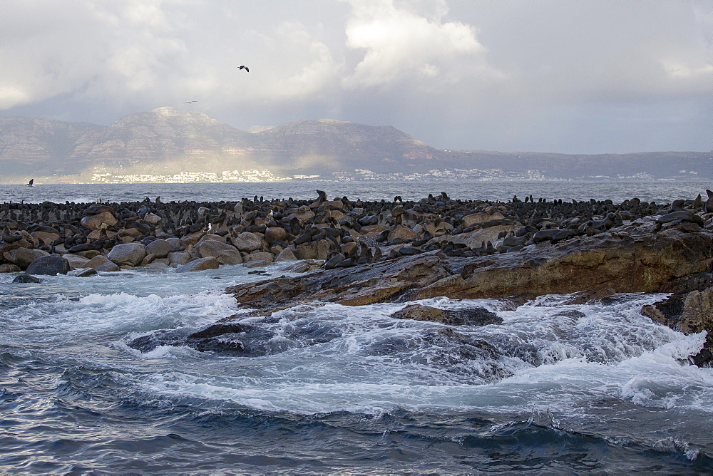 Cape fur seals (Arctocephalus pusillus pusillus), Seal Island, False Bay, Simonstown, Western Cape, South Africa, Africa - 938-99