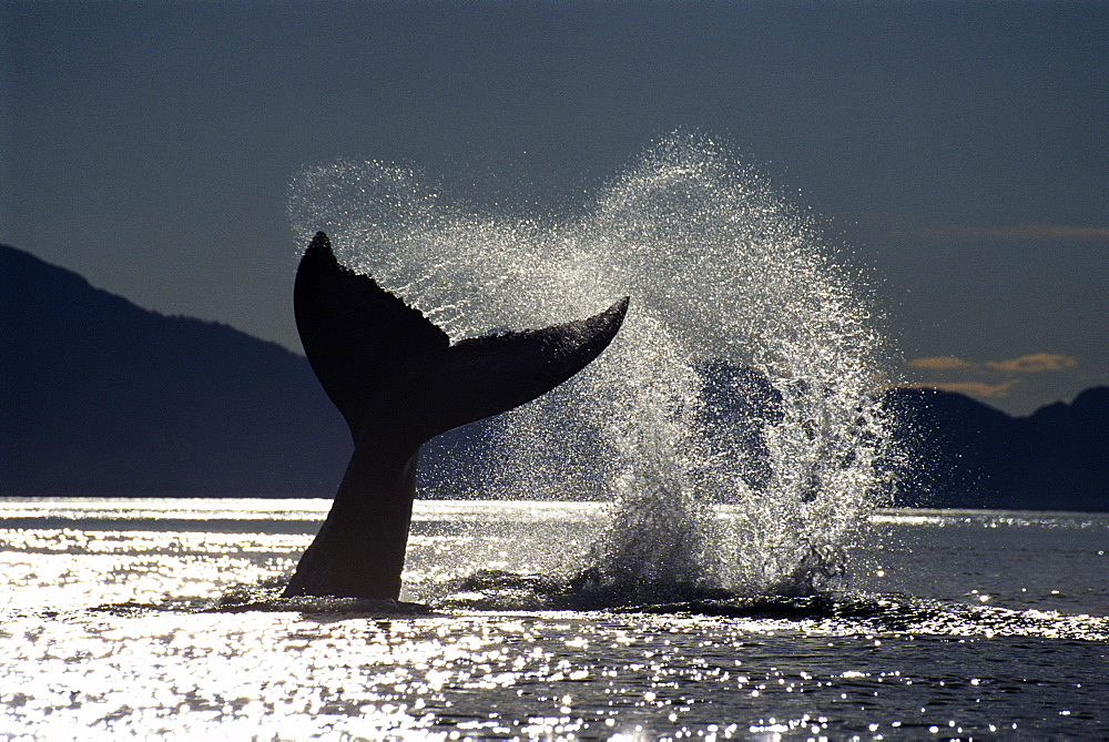 Humpback whale (Megaptera novaeangliae) tail slapping with its flukes. Alaska - 939-10