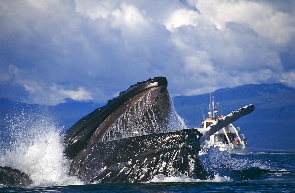 Humpback Whale feeding (Megaptera novaeangliae). Chatham Straits, S. E. Alaska