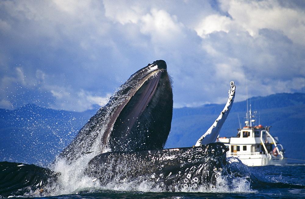 Humpback Whales feeding (Megaptera novaeangliae). Chatham Straits, S. E. Alaska