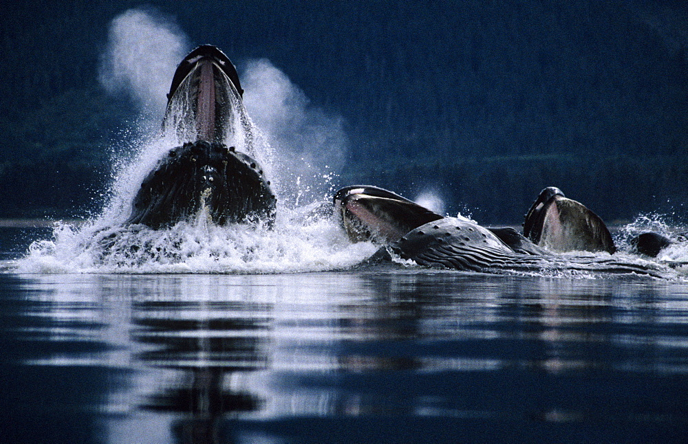 Humpback Whales feeding (Megaptera novaeangliae).Tenakee Inlet, S. E. Alaska