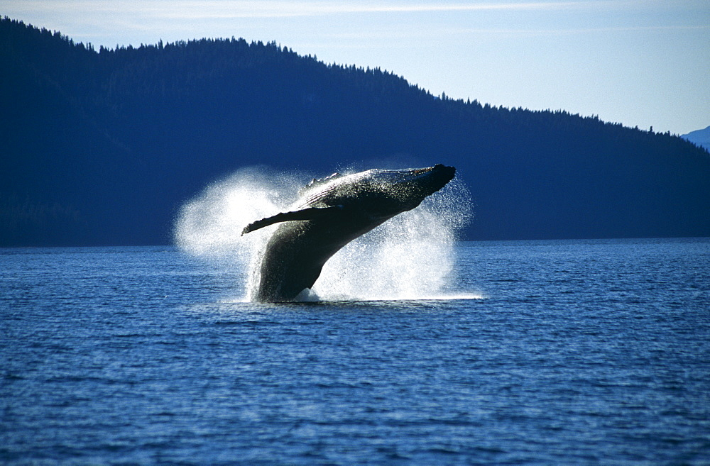 Humpback Whale breaching (Megaptera novaeangliae).Tenakee Inlet, S. E. Alaska - 939-15
