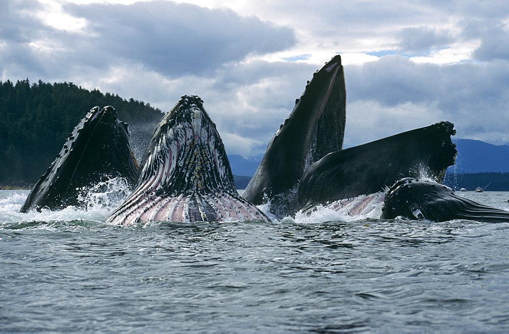 Humpback Whales feeding (Megaptera novaeangliae). Chatham Straits, S. E. Alaska - 939-16