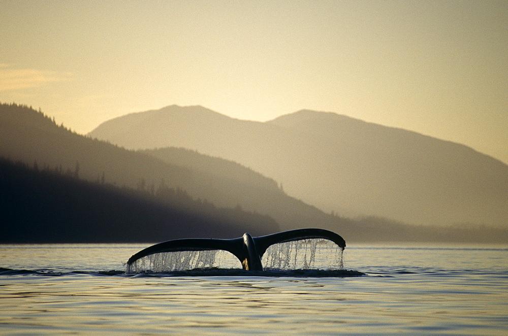 Humpback Whale (Megaptera novaeangliae) sounding. Chatham Straits, S.E. Alaska