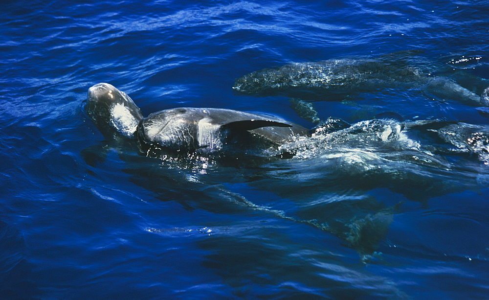 Male Risso's dolphins (Grampus griseus) competing for female.  - 939-2