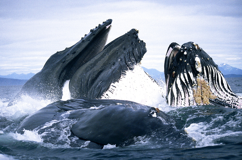 Humpback Whale feeding (Megaptera novaeangliae). Frederick Sd, S. E. Alaska - 939-21