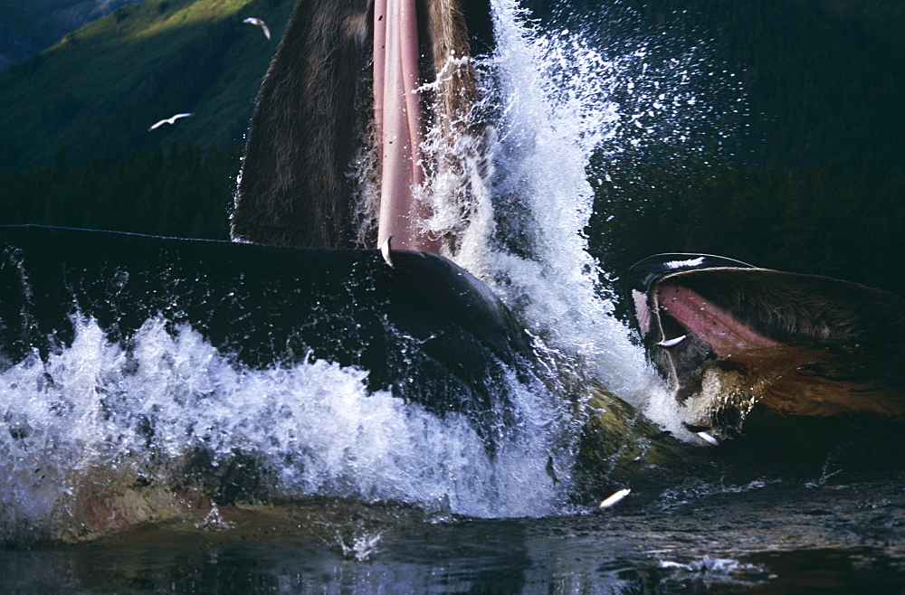 Humpback Whale feeding (Megaptera novaeangliae). - 939-22