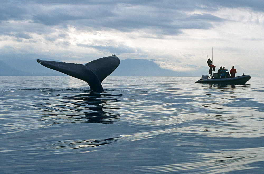 Humpback Whale (Megaptera novaeangliae) sounding and researchers. Alaska - 939-25