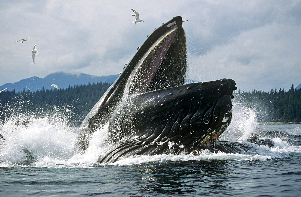 Humpback Whale feeding (Megaptera novaeangliae). - 939-26