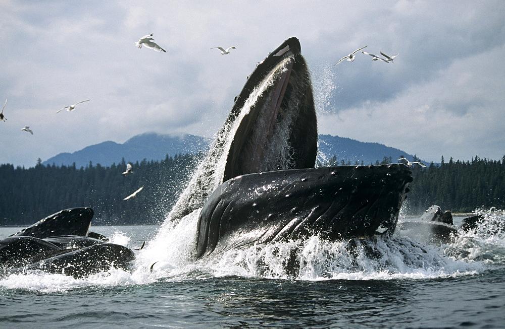 Humpback Whale feeding (Megaptera novaeangliae). - 939-27