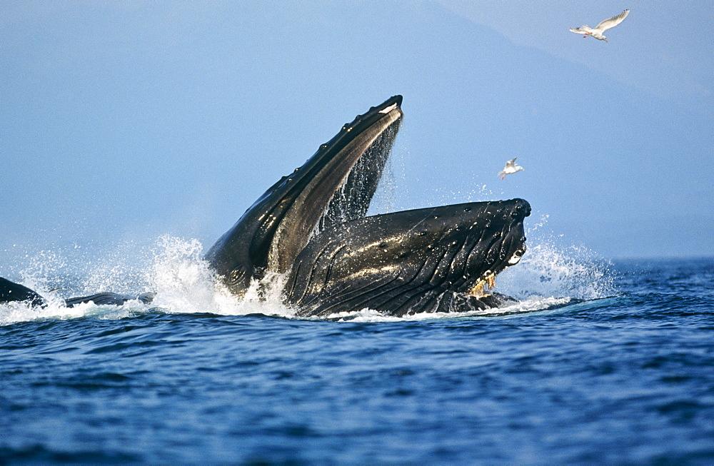 Humpback Whale feeding (Megaptera novaeangliae). - 939-28