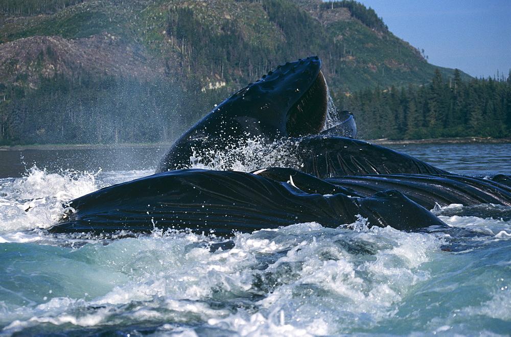 Humpback Whales feeding (Megaptera novaeangliae). Frederick Sd, S. E. Alaska - 939-30