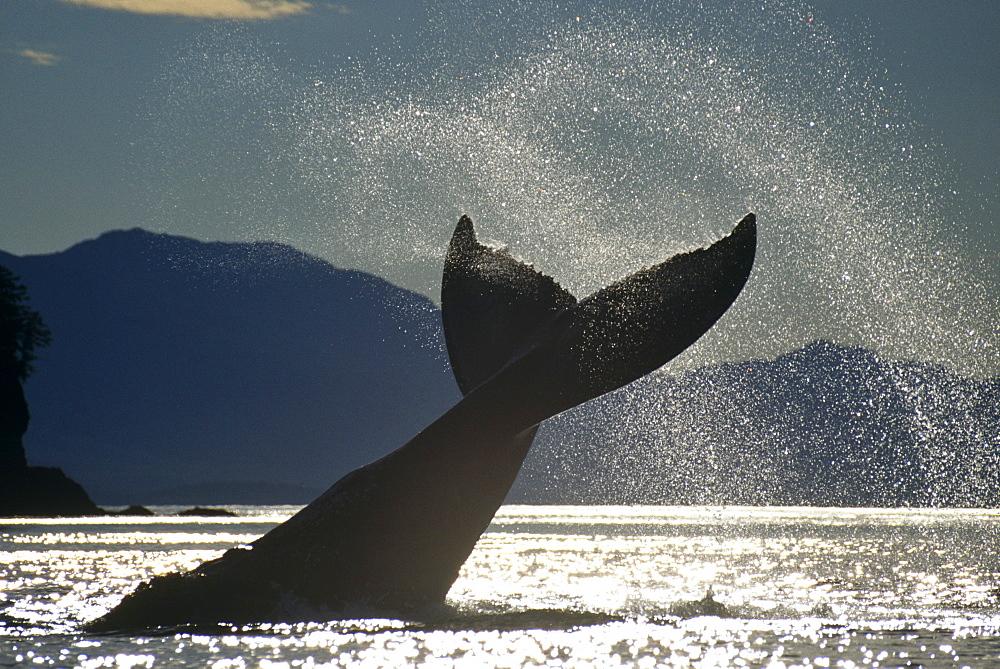 Humpback Whale (Megaptera novaeangliae) lobtailing. Icy Straits, S.E. Alaska