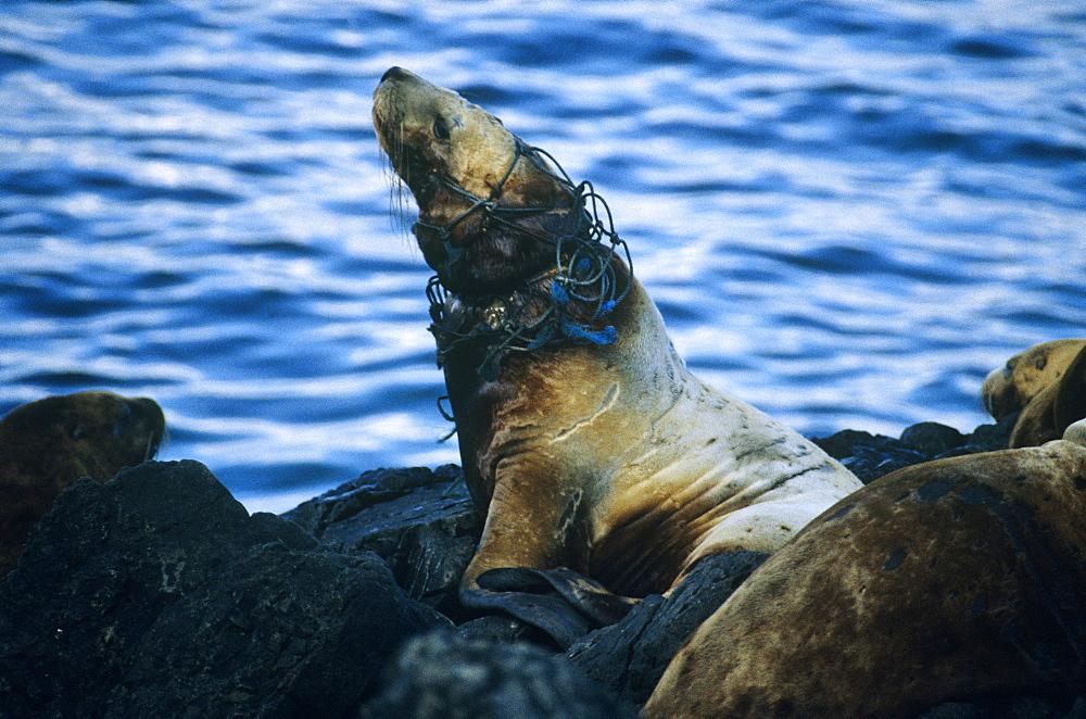 Steller Sea lions (Eumetopias jubatus), entangled. Yasha Island, S. E. Alaska - 939-34