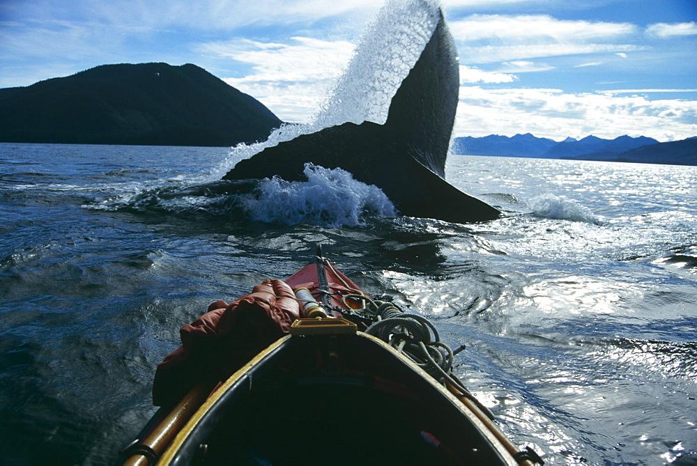 Humpback Whale (Megaptera novaeangliae) flicking flukes. Chatham Straits, S. E. Alaska