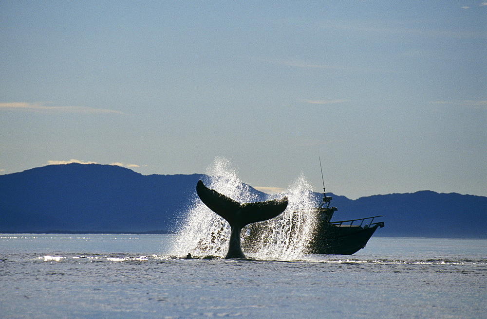 Humpback Whale (Megaptera novaeangliae) lobtailing. Icy Straits, S.E. Alaska - 939-36