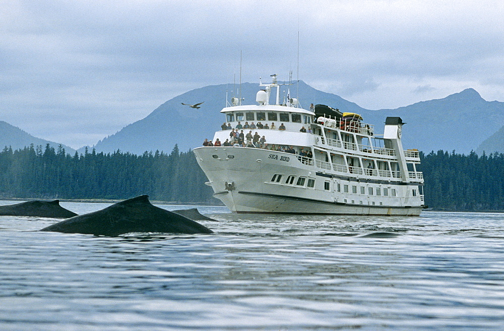 Whale watching boat and whales. Alaska - 939-37