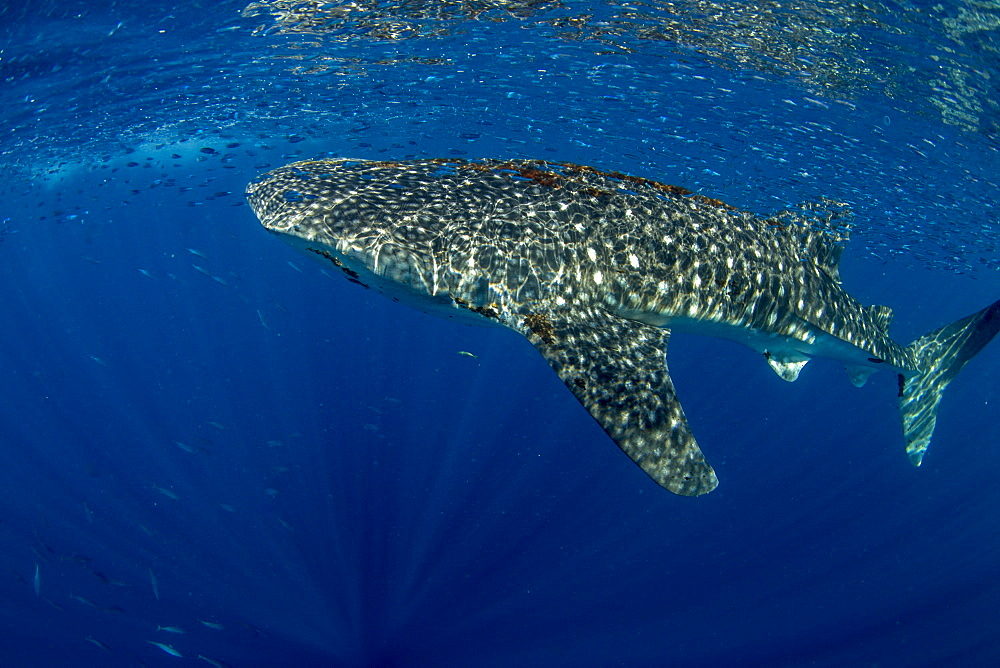 Whale shark (Rhincodon typus) with shoal of fish on the surface), Honda Bay, Palawan, the Philippines. - 939-39