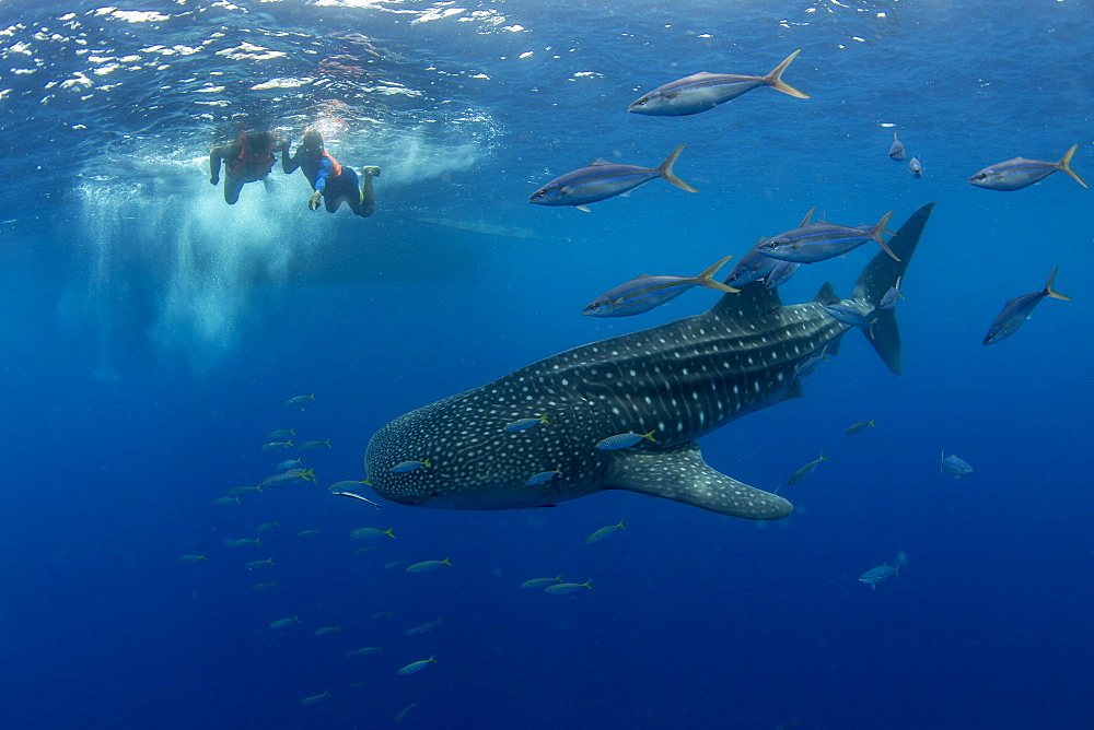 Whale shark (Rhincodon typus) with rainbow runner observed by a tourist and guide in Honda Bay, Palawan, the Philippines. - 939-42
