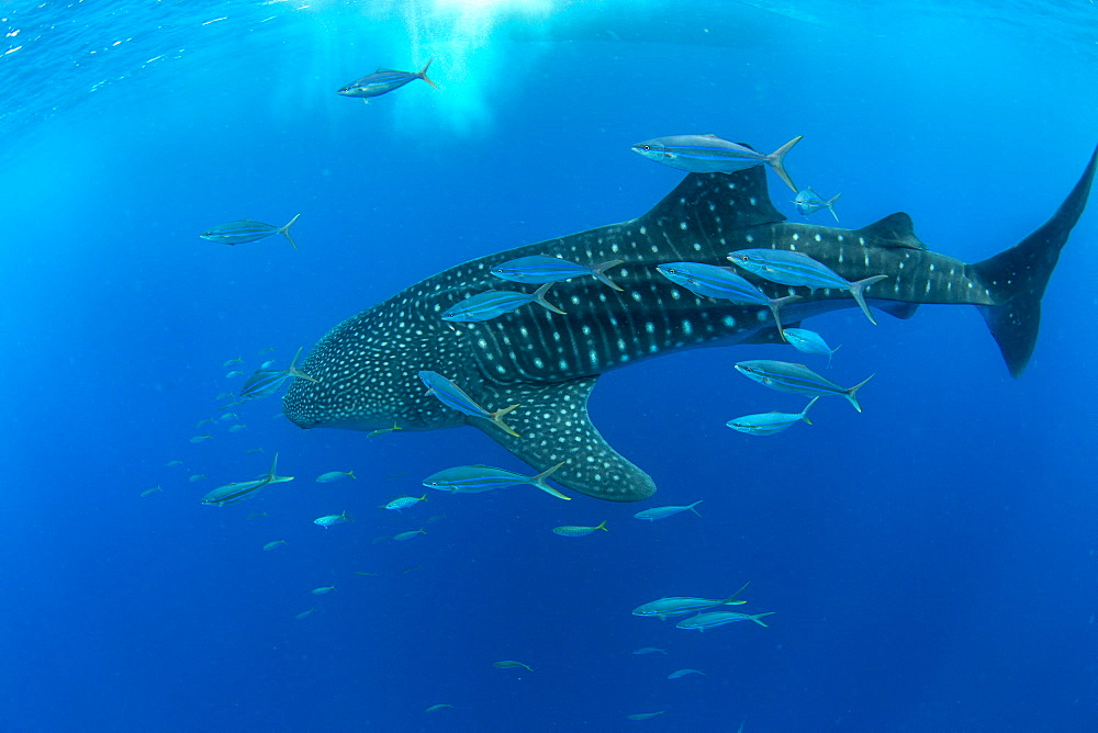 Whale shark (Rhincodon typus) with rainbow runner, Honda Bay, Palawan, the Philippines. - 939-43
