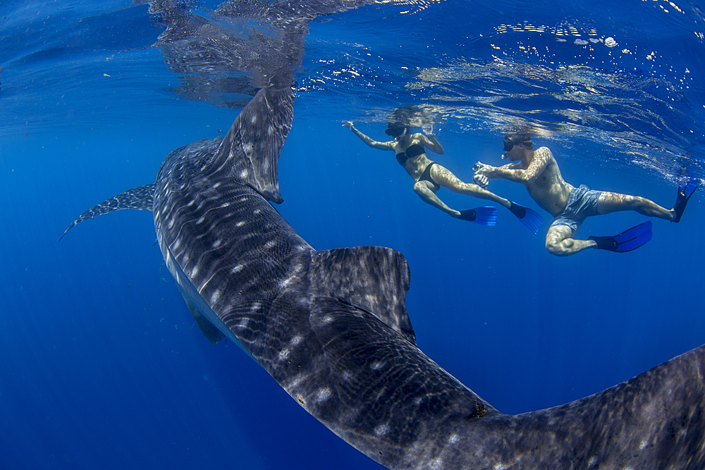 Two tourists snorkelling with a whale shark (Rhincodon typus), in Honda Bay, Palawan, The Philippines, Southeast Asia, Asia