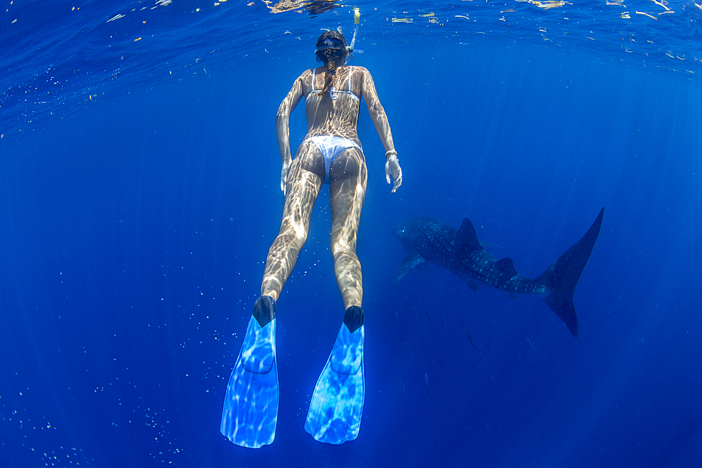 Tourist snorkelling with a whale shark (Rhincodon typus) in Honda Bay, Palawan, the Philippines. - 939-47
