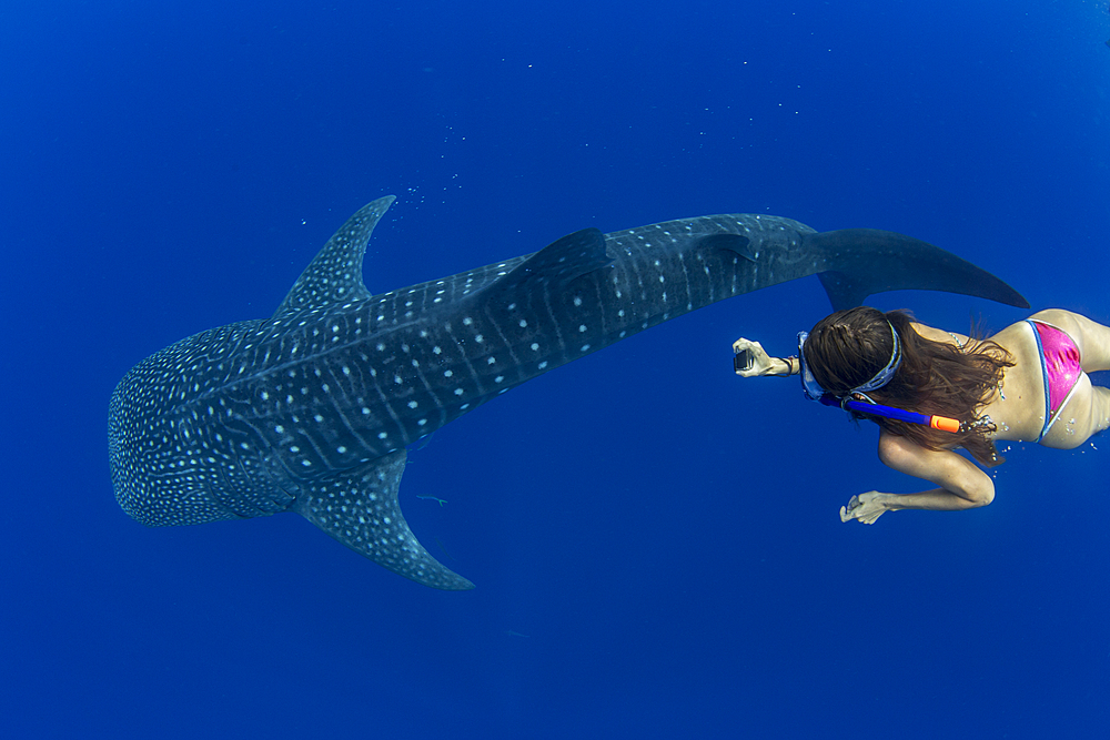 Tourist snorkelling with a whale shark (Rhincodon typus) in Honda Bay, Palawan, the Philippines. - 939-48