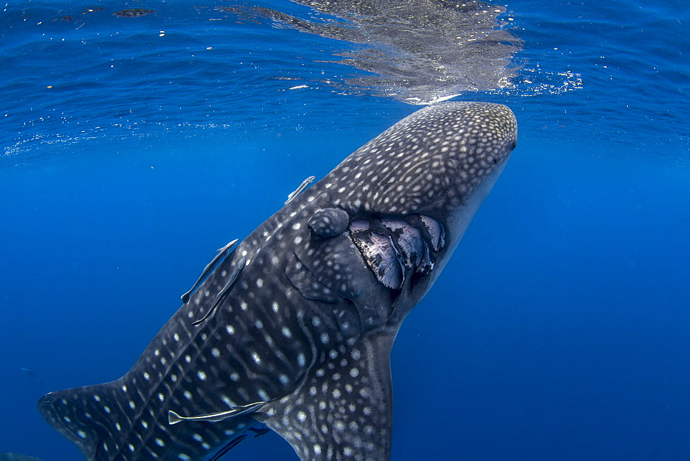 Whale shark ( Rhincodon typus ) with boat propeller injury, Honda Bay, Palawan, the Philippines.