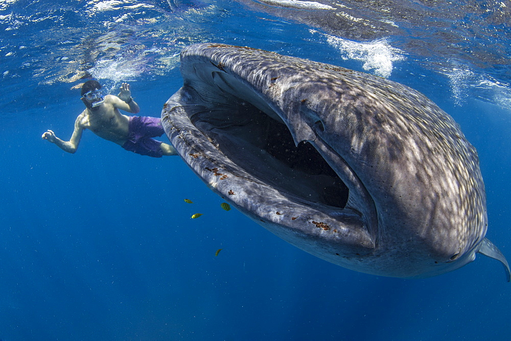 Snorkeller with a juvenile whale shark ( Rhincodon typus ) feeding on the suface in Honda Bay, Palawan, the Philippines.