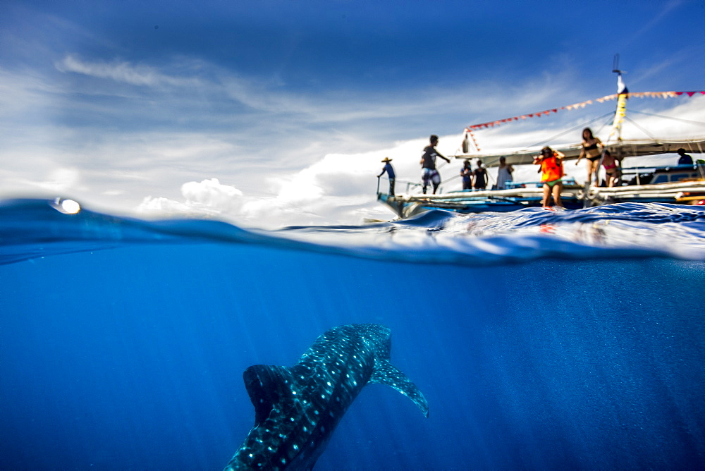 Whale shark (Rhincodon typus) beneath a banca tour boat in Honda Bay, Palawan, The Philippines, Southeast Asia, Asia