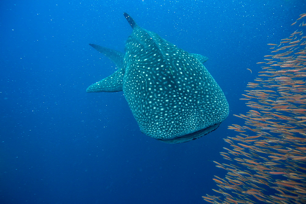 Whale shark ( Rhincodon typus ) with a shoal of red fish evading predation, Honda Bay, Palawan, the Philippines. - 939-56